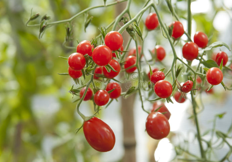 Download Cherry tomatoes stock image. Image of tomatoes, food - 21415395