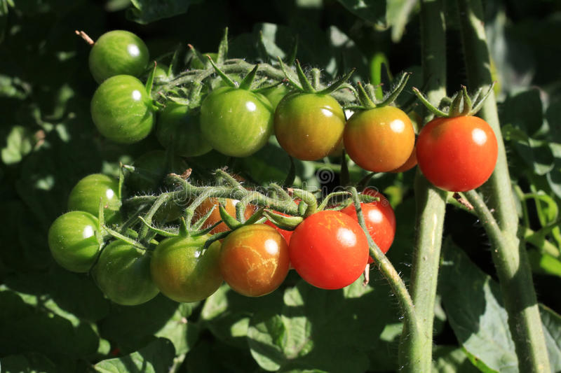 Download Cherry Tomatoes stock photo. Image of leaf, vegetable - 25857938