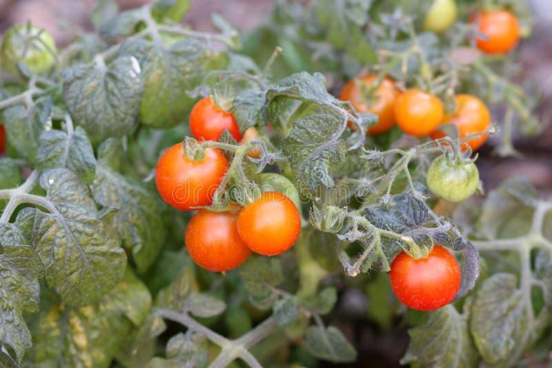 Cherry Tomatoes imagem de stock