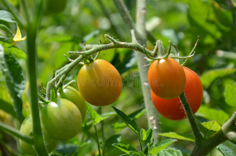 Cherry Tomatoes stockfotografie