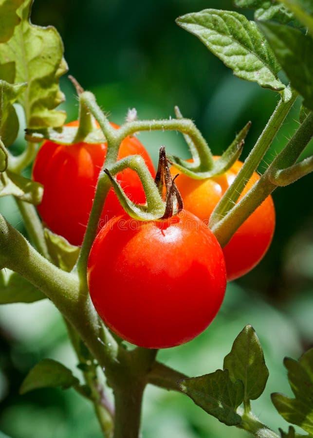 Cherry Tomatoes auf der Rebe lizenzfreie stockbilder