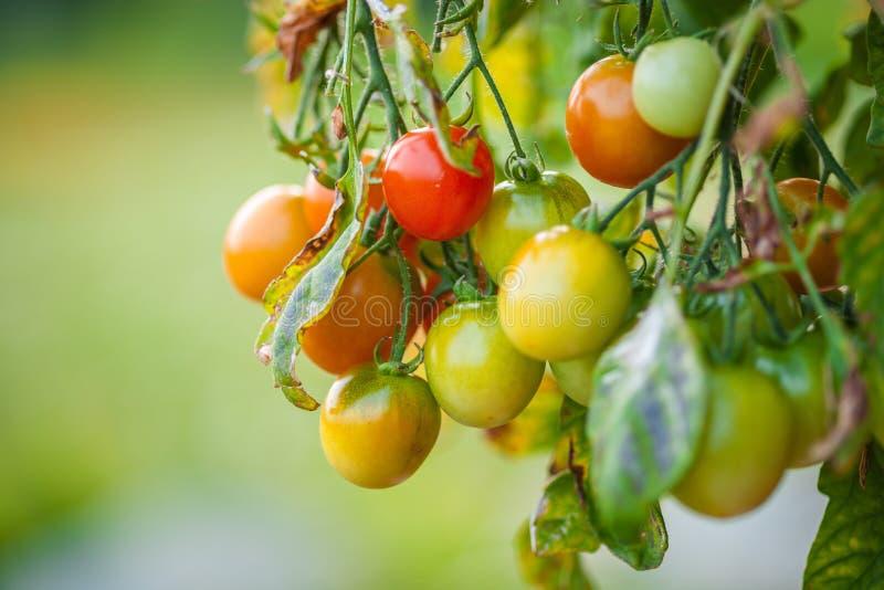 Cherry Tomatoes - Rijpende Vruchten stock fotografie