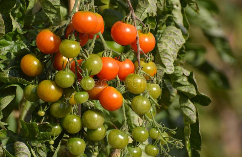 Cherry tomatoes ripening as they grow on the vine royalty free stock photos