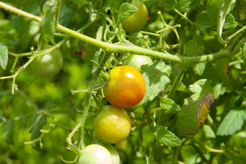 Cherry tomatoes ripening on the vine stock photo