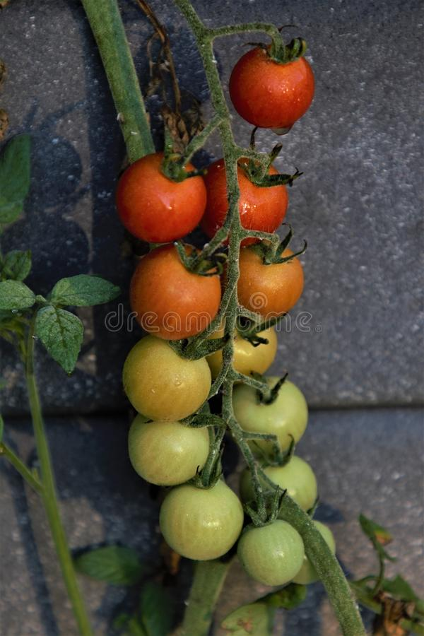 Cherry tomatoes ripening on the vine closeup stock images