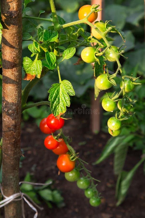 Cherry Tomatoes saboroso no ramo com folhas verdes fotos de stock