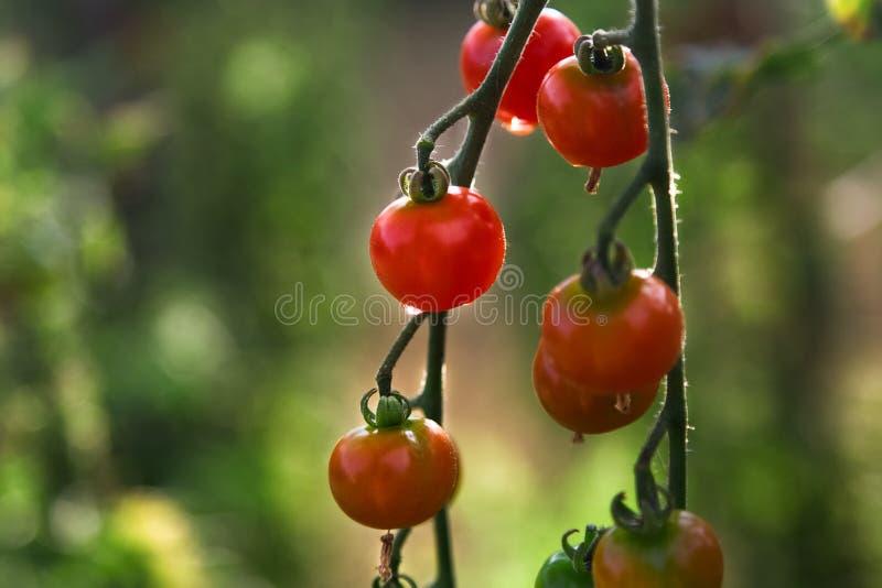 Cherry Tomatoes saboroso no ramo com folhas verdes foto de stock royalty free
