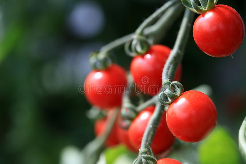 Cherry Tomatoes sul maturo in orto fotografia stock