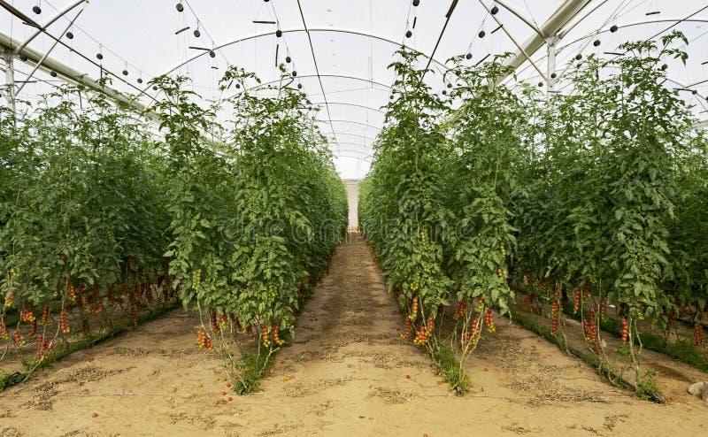Cherry Tomatoes in una serra di High Tech immagine stock