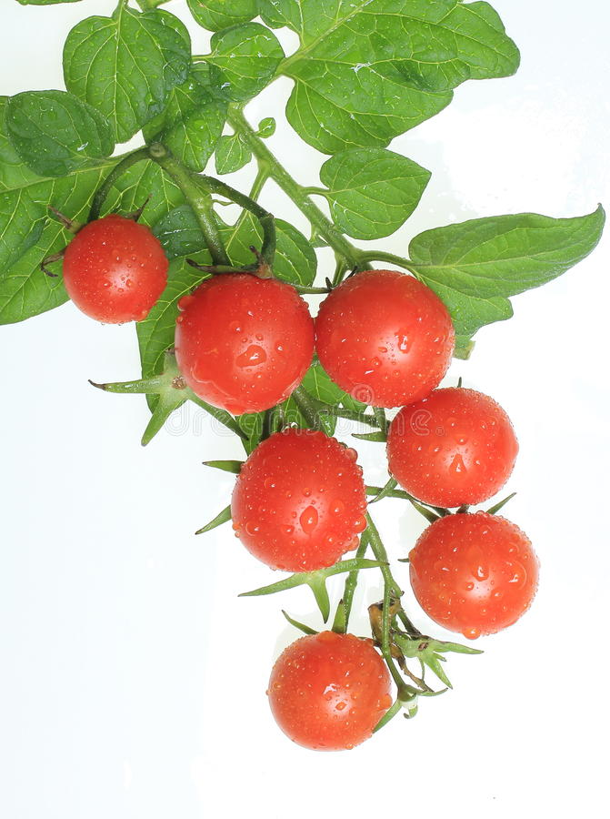 Cherry tomatoes on vine stock photo
