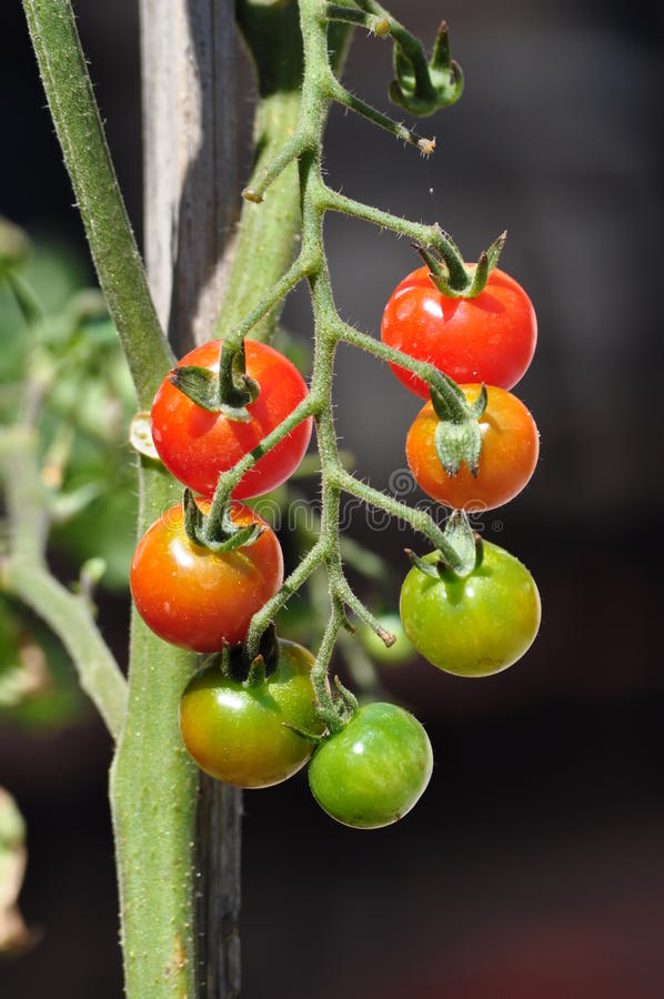 Cherry tomatos on the plant royalty free stock photography