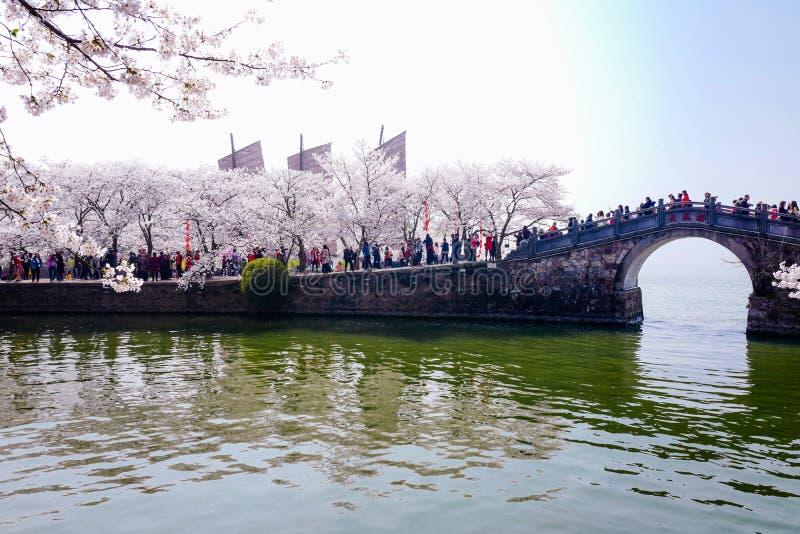 Cherry Blossom valley,wuxi,china stock photo