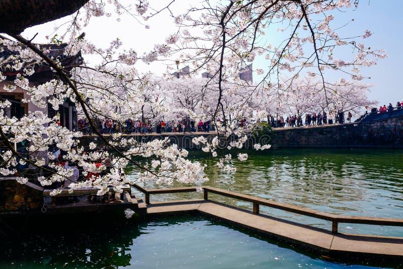 Cherry Blossom valley,wuxi,china royalty free stock photography