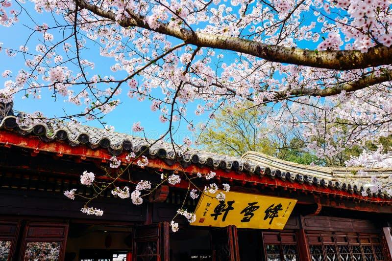 Cherry Blossom valley,wuxi,china royalty free stock photo