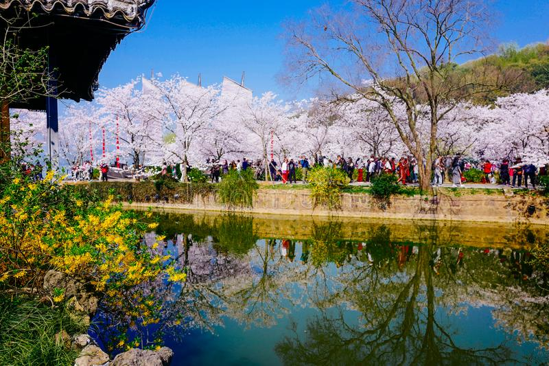 Cherry Blossom valley,wuxi,china stock photography