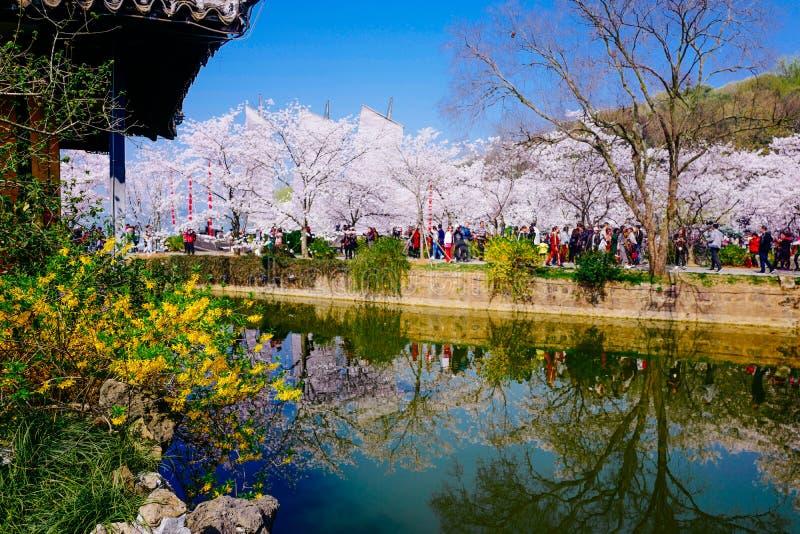 Cherry Blossom valley,wuxi,china stock image