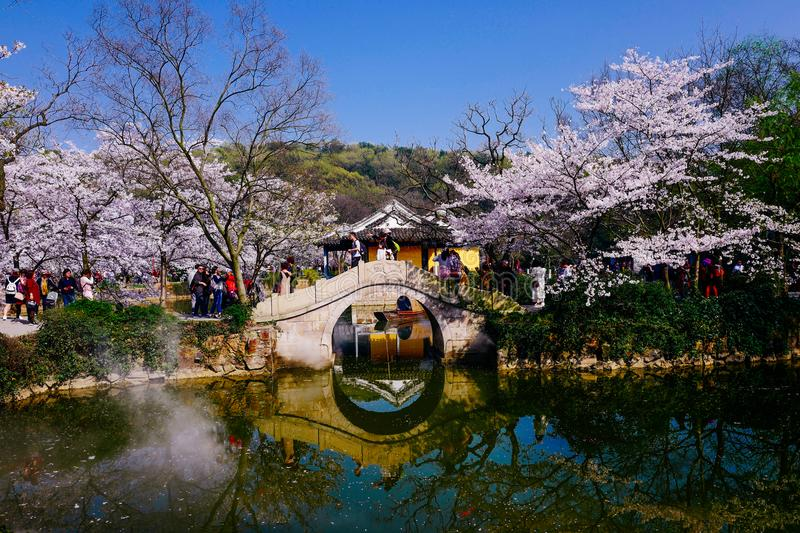 Cherry Blossom valley,wuxi,china stock image