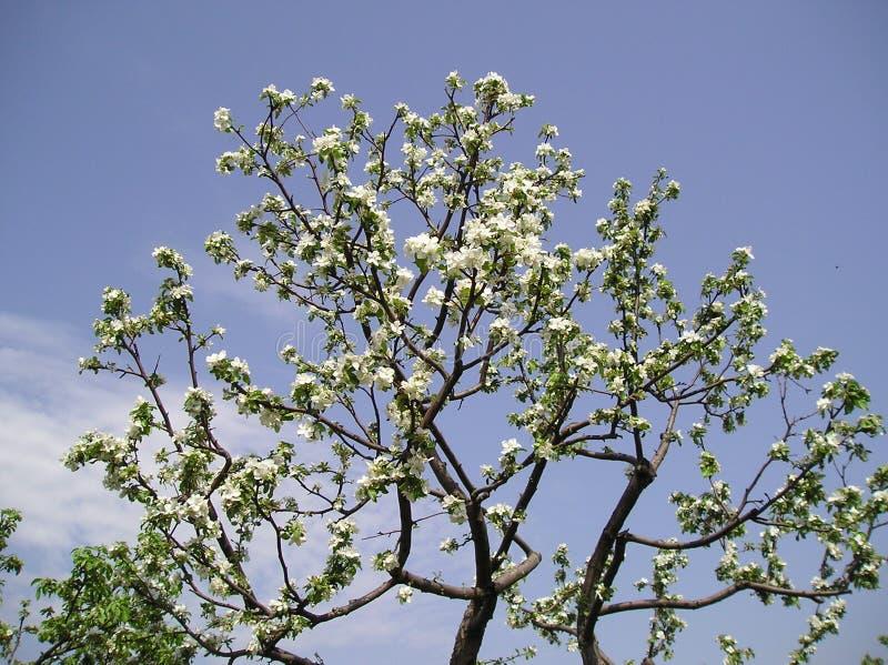 Cherry-tree stock images