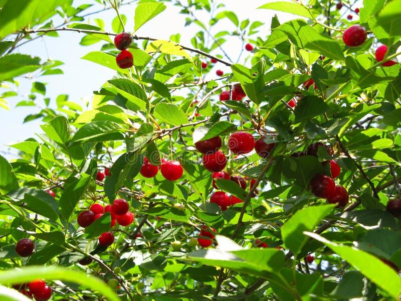 Cherry-tree fotografia de stock