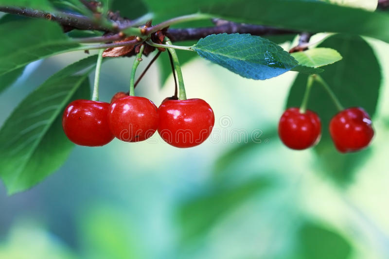 Cherry Tree. Group of bright red cherries hanging in the tree with morning light. Extreme shallow DOF with room for copy space royalty free stock photo