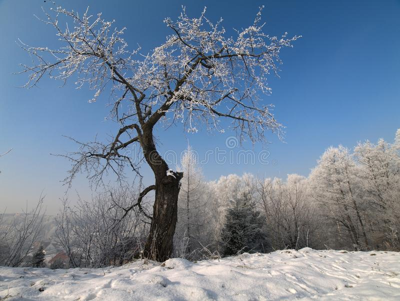 Download The cherry tree stock image. Image of single, cold, blue - 18071309