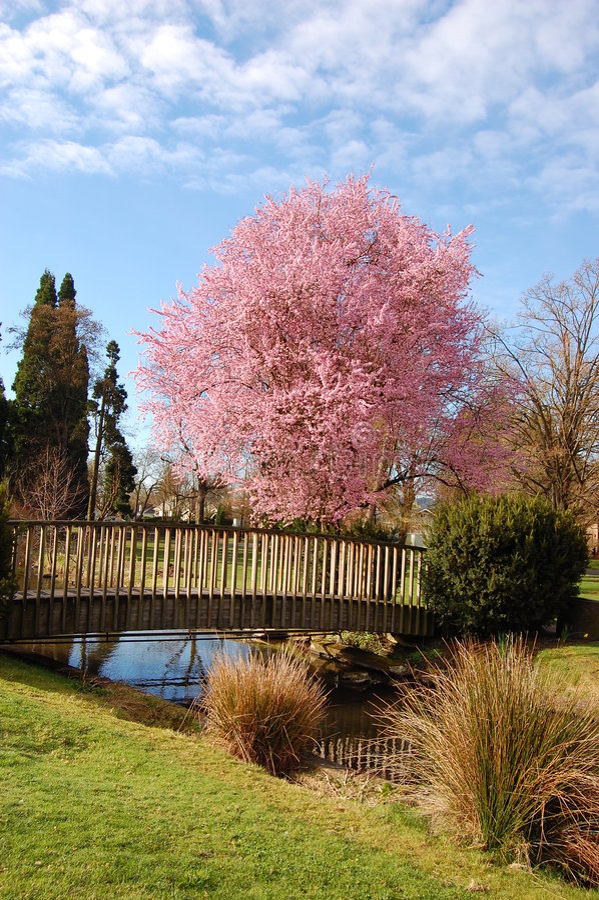 Free Cherry Tree Royalty Free Stock Image - 2477026
