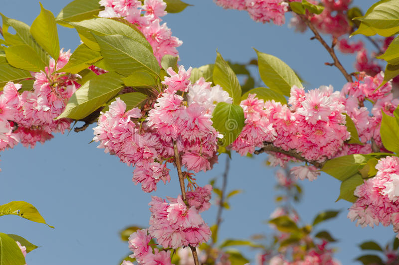 Cherry tree. View of a cherry tree branch on the blue sky royalty free stock image