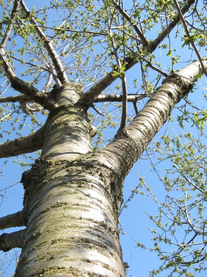 Cherry-tree Stock Photography