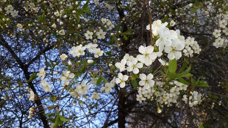 Cherry Tree royalty-vrije stock fotografie