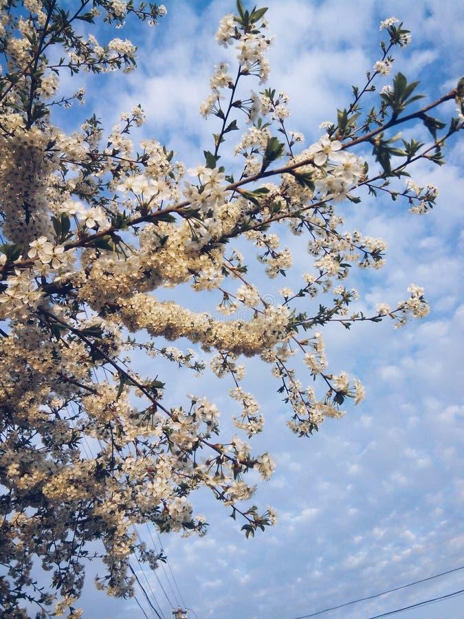 Cherry Tree royalty-vrije stock foto