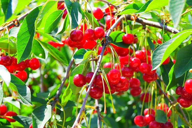 Cherry Tree fotos de archivo libres de regalías