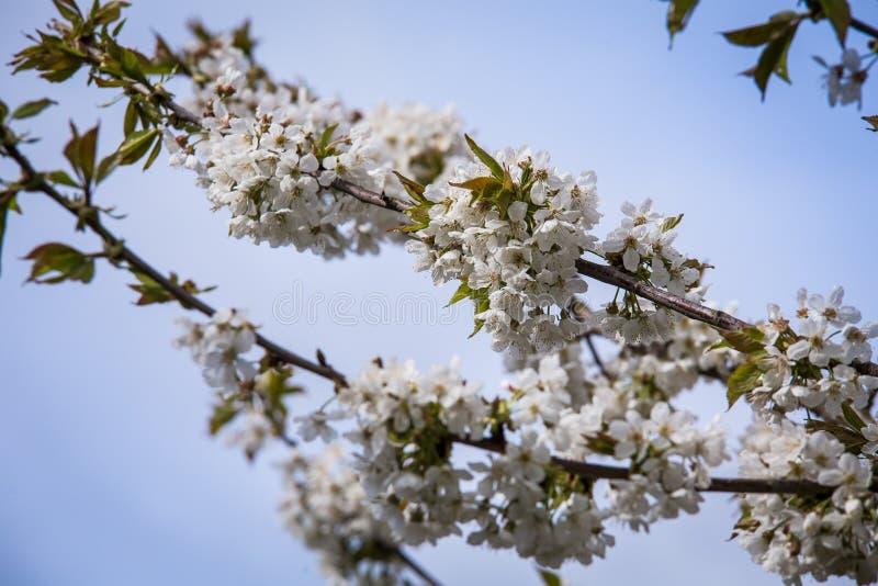 Cherry Tree photo libre de droits