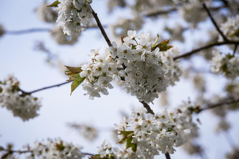 Cherry Tree fotografía de archivo