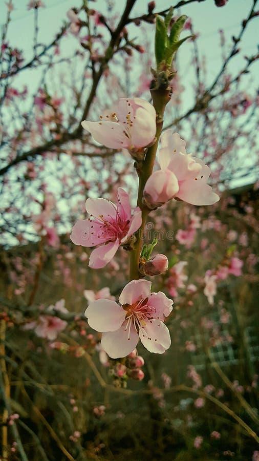 Cherry Tree lizenzfreie stockbilder