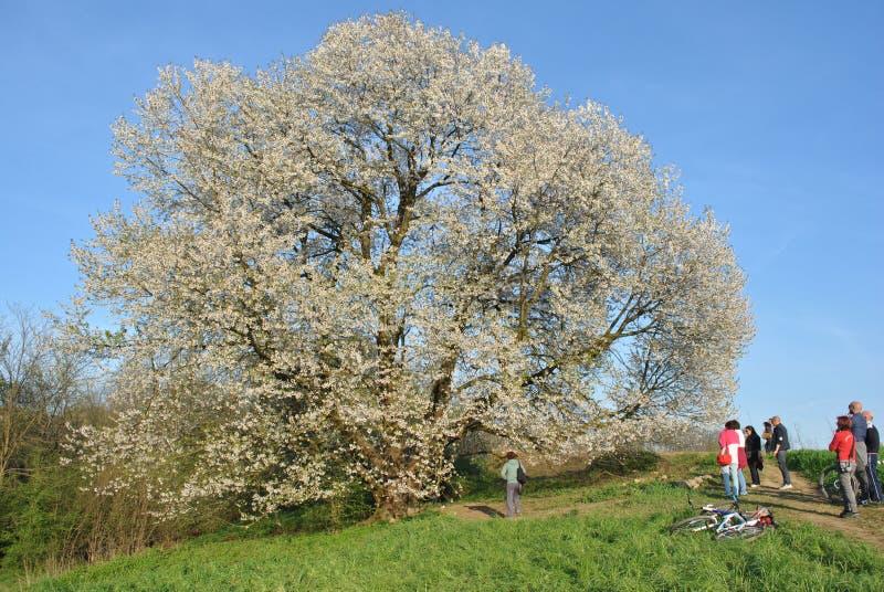 Cherry Tree antico fotografia stock libera da diritti