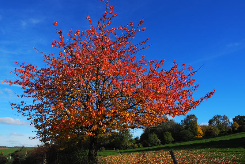 Cherry Tree In Autumn sauvage image stock
