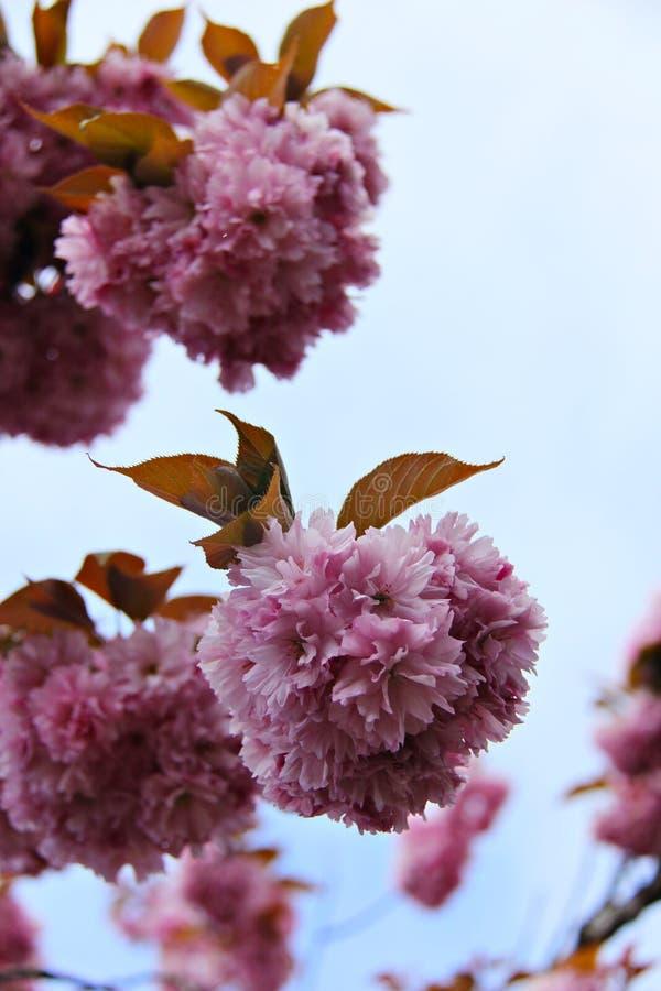Cherry Tree-bloesems in Qualicum-Strand, BC royalty-vrije stock afbeeldingen