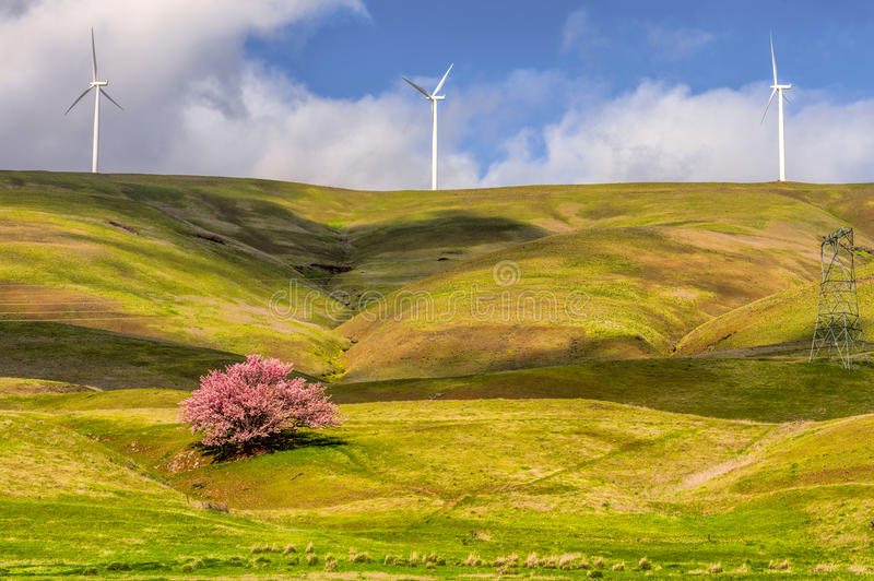 Cherry Tree Blooming on Columbia Hills. A lone full blooming cherry tree stands out on the rolling hills of the Columbia Hills where three wind turbines turn on stock images