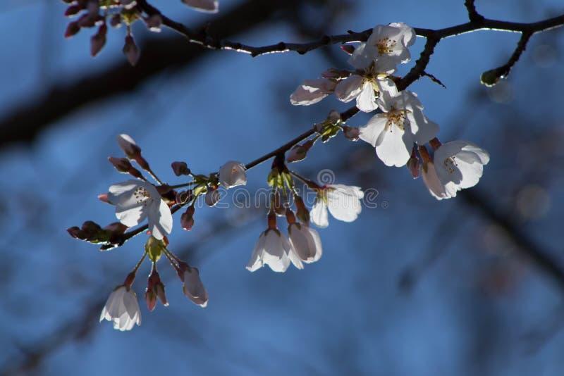 Cherry Tree Blooms imagen de archivo libre de regalías