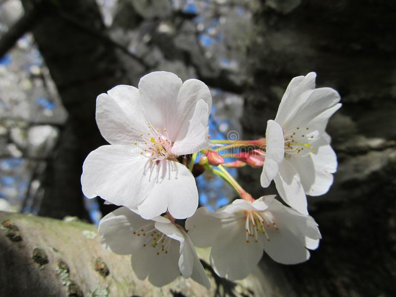 Sunlit Cherry Blooms in Springtime royalty free stock photo