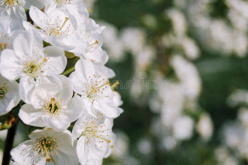 Cherry tree  bloosom in spring orchard. Close up of white cherry tree  bloosom in spring orchard royalty free stock photography