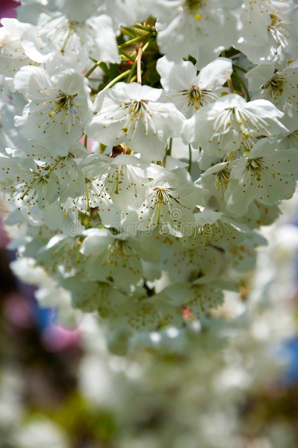 Cherry Tree Blossom lizenzfreies stockbild