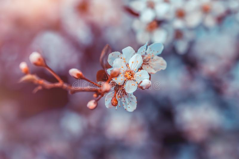 Cherry Tree Blossom fotografia de stock