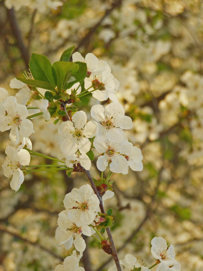 Download Cherry Tree Blossom Royalty Free Stock Image - Image: 11370636