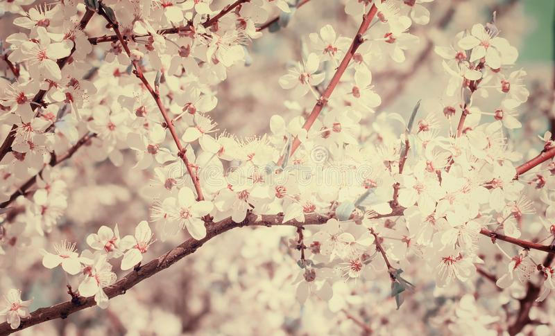 Cherry Tree Blossom fotos de stock royalty free