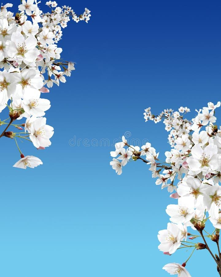 Cherry tree in blossom stock photos