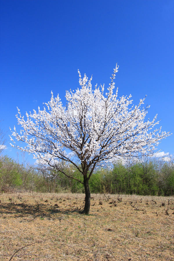 Download Young Cherry Tree In Blossom Stock Photo - Image: 16681750