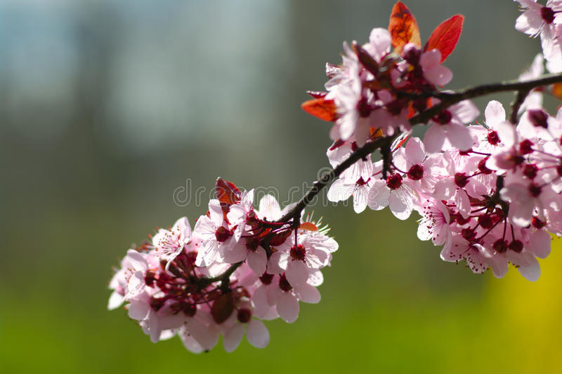 Cherry tree blossom stock photography