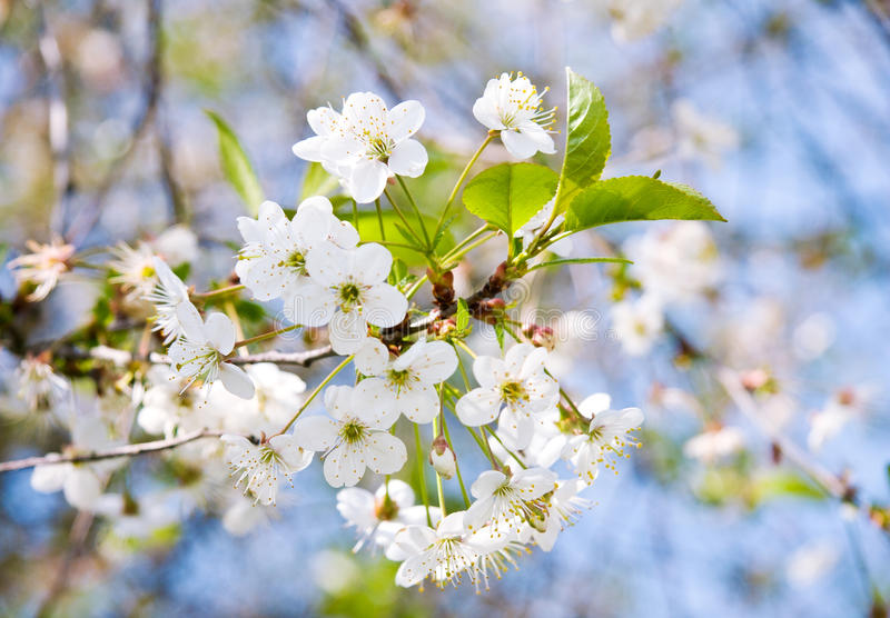 Cherry Tree Blossom fotografia stock