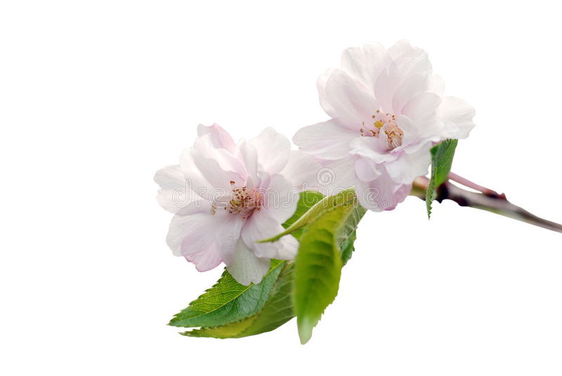 Cherry tree blossom royalty free stock image